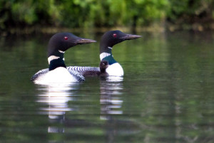 Loons on Northern Wisconsin Lakes