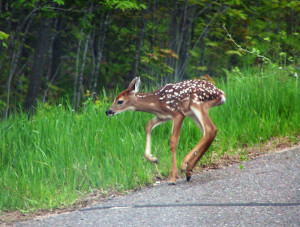 Northern Wisconsin Hiking: A Fawn