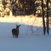 Northern Wisconsin Wildlife in Winter