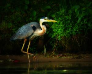 adult blue heron