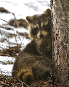 Northern Wisconsin Photography: Racoon in Winter
