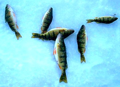 Ice Fishing for Pan Fish in Phelps